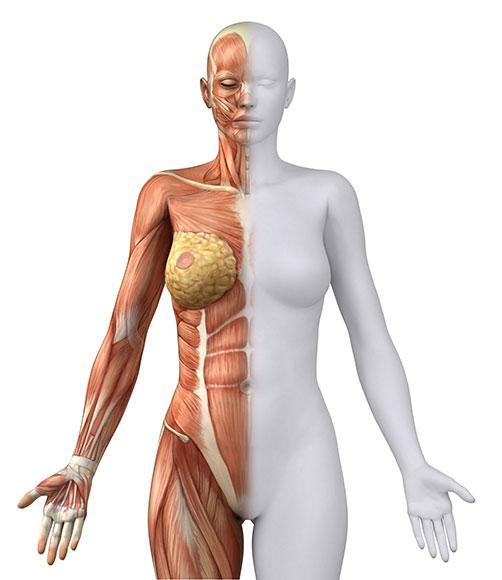 Anatomy, shape and appearance